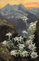 Leontopodium alpinum, Photocromie Serie 506. No. 758.