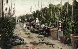 Kent, Hop garden with hop pickers at work