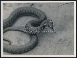 cca 1933 Kinszki Imre (1901-1945) budapesti fotóművész pecséttel jelzett vintage fotóművészeti alkotása (Vízisikló), 12x16 cm