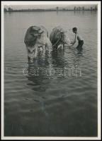 cca 1931 Kinszki Imre (1901-1945) budapesti fotóművész jelzés nélküli, vintage fotóművészeti alkotása (tehenek fürösztése), 8,7x6,2 cm