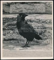 1935 Kinszki Imre (1901-1945) budapesti fotóművész hagyatékából, pecséttel jelzett és aláírt, vintage fotó (Jancsi névre hallgató csóka), 14,5x13 cm