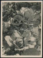 1931. október, Kinszki Imre (1901-1945) budapesti fotóművész hagyatékából, a szerző által feliratozott vintage fotó (Csillaghegyi káposzták), 8,4x6,2 cm