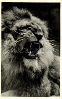 Öreg oroszlán, Kiadja Budapest székesfőváros állat- és növénykertje / Old lion, Budapest Zoo