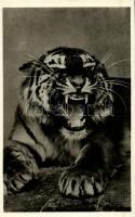 Szibériai tigris, Kiadja Budapest székesfőváros állat- és növénykertje / Siberian tiger, Budapest Zoo