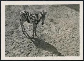cca 1932 Kinszki Imre (1901-1945) budapesti fotóművész hagyatékából jelzés nélküli vintage fotó (Zebra), 4,4x6 cm