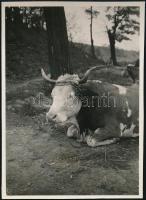 1930 Kinszki Imre (1901-1945) budapesti fotóművész jelzés nélküli, de általa feliratozott, vintage fotója (Lágymányosi tehén, ez a 735. sz. felvétele), 8,5x6 cm