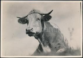 cca 1932 Kinszki Imre (1901-1945) budapesti fotóművész hagyatékából pecséttel jelzett vintage fotó (Jámbor tehénke), 11,9x17 cm