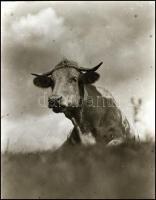 cca 1930 Kinszki Imre (1901-1945) budapesti fotóművész hagyatékából, vintage NEGATÍV (tehén), 8x6 cm