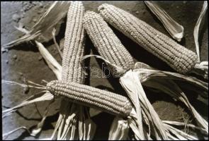 cca 1936 Thöresz Dezső (1902-1963) békéscsabai gyógyszerész és fotóművész hagyatékából vintage NEGATÍV (Kukoricacsövek), 6x9 cm