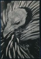cca 1934 Kinszki Imre (1901-1945) budapesti fotóművész hagyatékából, pecséttel jelzett vintage fotó (keselyűfejű gyöngytyúk), 13x8,8 cm