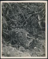 cca 1933 Kinszki Imre (1901-1945) budapesti fotóművész hagyatékából, pecséttel jelzett, aláírt vintage fotó (Fiatal erdei pityer Lepencénél), 16x13 cm