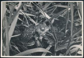 cca 1934 Kinszki Imre (1901-1945) budapesti fotóművész hagyatékából, pecséttel jelzett és a szerző által feliratozott vintage fotó (Toad, Bufo vulgaris), 11,6x16,8 cm