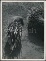 cca 1934 Kinszki Imre (1901-1945) budapesti fotóművész hagyatékából, pecséttel jelzett vintage fotóművészeti alkotás (Veszélyes fegyverzet), 24x18 cm