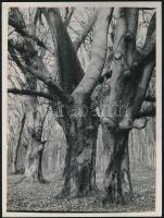 cca 1933 Kinszki Imre (1901-1945) budapesti fotóművész hagyatékából, feliratozott vintage fotóművészeti alkotás (Öreg fák), 24x18 cm
