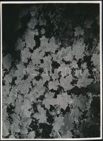 cca 1933 Kinszki Imre (1901-1945) budapesti fotóművész hagyatékából, feliratozott vintage fotóművészeti alkotás (Levelek), 17,2x23,8 cm