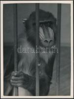 cca 1937 Kinszki Imre (1901-1945) budapesti fotóművész hagyatékából, pecséttel jelzett vintage fotóművészeti alkotás (Rácsok mögött), 24x18 cm