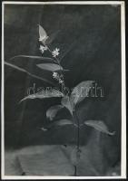cca 1932 Kinszki Imre (1901-1945) budapesti fotóművész hagyatékából, jelzés nélküli, de a szerző által feliratozott vintage fotó (Cynanthum...), sarkán törésvonal, 17x11,6 cm