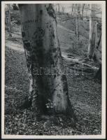 cca 1932 Kinszki Imre (1901-1945) budapesti fotóművész hagyatékából jelzés nélküli, vintage fotóművészeti alkotás (Erdei fa), 24x18 cm