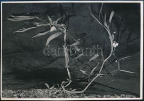 cca 1934 Kinszki Imre (1901-1945) budapesti fotóművész jelzés nélküli, de általa feliratozott vintage fotóművészeti alkotás a hagyatékából (Lathyrus sativus), 11,6x16,8 cm