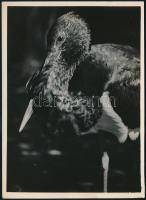cca 1932 Kinszki Imre (1901-1945) budapesti fotóművész hagyatékából pecséttel jelzett vintage fotó (Madár), 17,8x13 cm