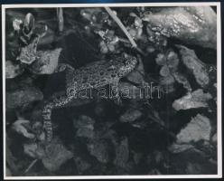 cca 1936 Kinszki Imre (1901-1945) budapesti fotóművész hagyatékából, a szerző által feliratozott, vintage fotó (Vöröshasú unka), 11,6x14,7 cm