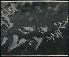 cca 1936 Kinszki Imre (1901-1945) budapesti fotóművész hagyatékából, a szerző által feliratozott, vintage fotó (Aristolochia clematitis), 11,5x14,1 cm