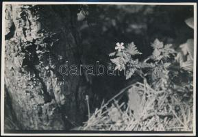 cca 1933 Kinszki Imre (1901-1945) budapesti fotóművész hagyatékából pecséttel jelzett vintage fotó (Geranium Robertianum), 11,5x16,8 cm