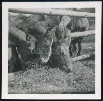 cca 1937 Kinszki Imre (1901-1945) budapesti fotóművész hagyatékából jelzés nélküli vintage fotó (Lovak), 6,3x6,4 cm