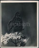 cca 1932 Kinszki Imre (1901-1945) budapesti fotóművész hagyatékából a szerző által írógéppel feliratozott, vintage fotóművészeti alkotás (lepke virágon), 16x13 cm