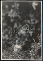 cca 1935 Kinszki Imre (1901-1945) budapesti fotóművész hagyatékából pecséttel jelzett vintage fotóművészeti alkotás (mezei pillangó), 17,6x12,5 cm