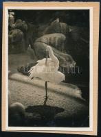 cca 1932 Kinszki Imre (1901-1945) budapesti fotóművész hagyatékából, jelzés nélküli vintage fotó (tollászkodó madár), 8,5x6 cm