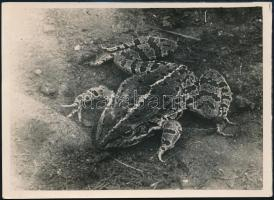 1930 Kinszki Imre (1901-1945) budapesti fotóművész hagyatékából, pecséttel jelzett és a szerző által feliratozott vintage fotó (Lepence, kecskebéka), 13x18 cm