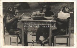 Csimpánzok ebéd közben. Kiadja Budapest székesfőváros állat- és növénykertje. Hölzel Gyula felvétele / Chimpanzees having lunch at the Budapest Zoo