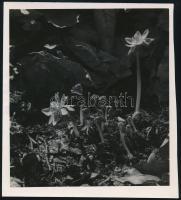 cca 1933 Kinszki Imre (1901-1945) budapesti fotóművész hagyatékából 1db vintage fotó, a szerző neve írógéppel feliratozva (erdei virágok), 18,2x16 cm