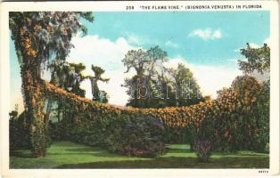 Florida, the flame vine (Bignonia Venusta)