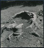 cca 1938 Kinszki Imre (1901-1945) budapesti fotóművész hagyatékából, jelzés nélküli vintage fotó (kivágott fa), 5,4x5 cm