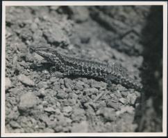 1943 Kinszki Imre (1901-1945) budapesti fotóművész hagyatékából, a szerző által - írógéppel és kézzel - feliratozott, vintage fotó (fali gyík), 12x14,5 cm