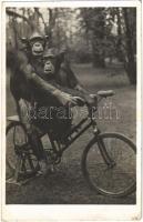Kerékpározó csimpánzok az Állatkertben. Kiadja Budapest székesfőváros állat- és növénykertje. Hölzel Gyula felvétele / Chimpanzees riding a bicycle at the Budapest Zoo (fl)