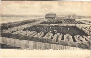 1909 Fort Morgan (Colorado), feeding sheep for market