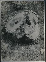 cca 1933 Kinszki Imre (1901-1945) budapesti fotóművész hagyatékából jelzés nélküli vintage fotó (kivágott fa), sarkán kis törés, 23x17 cm
