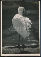 cca 1932 Kinszki Imre (1901-1945) budapesti fotóművész hagyatékából pecséttel jelzett vintage fotó (Tollászkodó), 18x13 cm