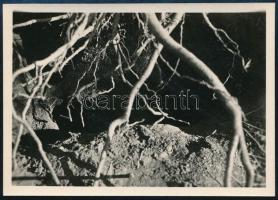 cca 1937 Kinszki Imre (1901-1945) budapesti fotóművész hagyatékából jelzés nélküli vintage fotó (Gyökerek), 6,1x8,7 cm