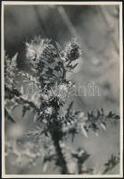cca 1933 Kinszki Imre (1901-1945) budapesti fotóművész hagyatékából, pecséttel jelzett és feliratozott vintage fotó (Melanargia Galathaea), 17x11,7 cm