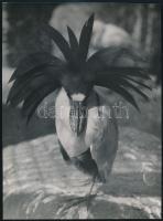 cca 1932 Kinszki Imre (1901-1945) budapesti fotóművész hagyatékából, pecséttel jelzett vintage fotó (tolldísz), 21,5x16 cm