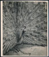 cca 1934 Kinszki Imre (1901-1945) budapesti fotóművész hagyatékából, pecséttel jelzett és aláírt, vintage fotóművészeti alkotás (Páva), 15x13 cm