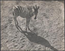 1933 Kinszki Imre (1901-1945) budapesti fotóművész hagyatékából, pecséttel jelzett vintage fotó (Zebra), 22,5x28,6 cm