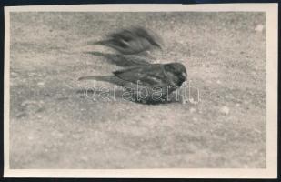 cca 1932 Kinszki Imre (1901-1945) budapesti fotóművész hagyatékából pecséttel jelzett vintage fotó (verebek), 8x13 cm