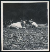 cca 1937 Kinszki Imre (1901-1945) budapesti fotóművész hagyatékából jelzés nélküli vintage fotó (pihenő marhák), a kép sarkán törésvonal, 5,8x5,5 cm