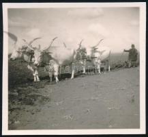 cca 1937 Kinszki Imre (1901-1945) budapesti fotóművész hagyatékából jelzés nélküli vintage fotó (szántás), 6×6 cm
