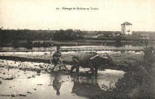 Tonkin, rice fields